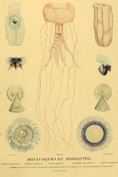 IL1V-Mollusque et Zoophytes