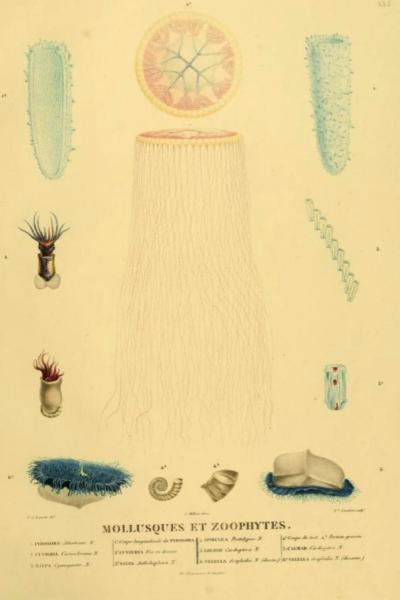 IL2V-Mollusque et Zoophytes