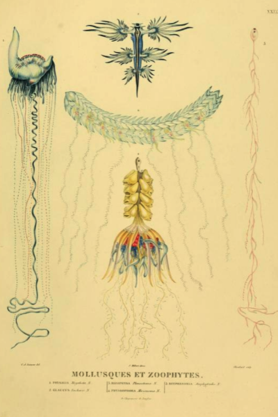 IL3V-Mollusque et Zoophytes