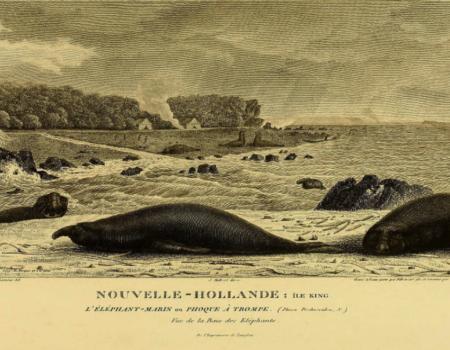 IL4H-BAUDIN-Elephant marin ou phoques